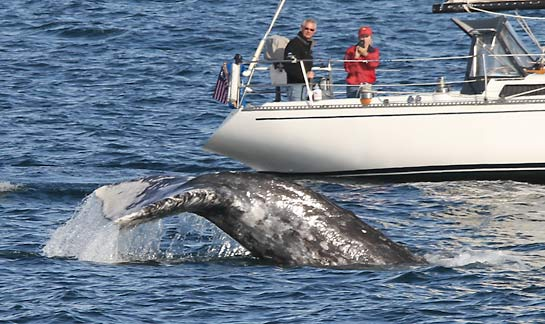 Gray Whale with Sailboat